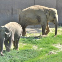 Asian elephant Swarn, (in foreground) and Kamala, (rear). (Photo by Jen Zoon)
