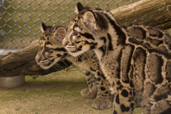 Clouded leopard cubs born at the Smithsonian Conservation Biology Institute in 2013. (Photo by Connor Mallon)