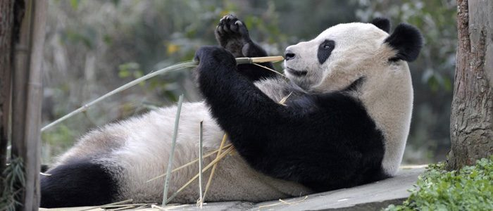 Are pandas the Bitcoin of the natural world?