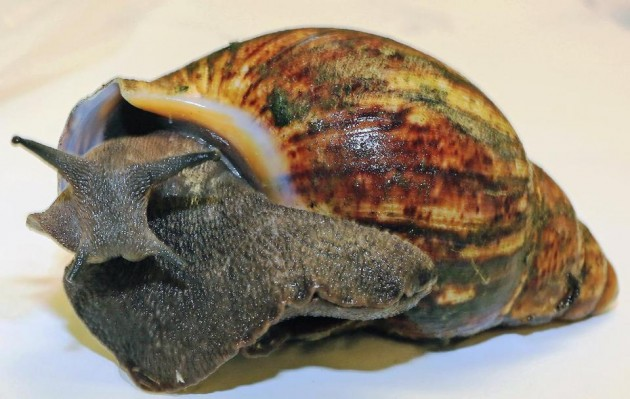 One of 67 live African giant snails intercepted July 1, at Los Angeles International Airport in a shipment from Nigeria. (Greg Bartman, United States Department of Agriculture)