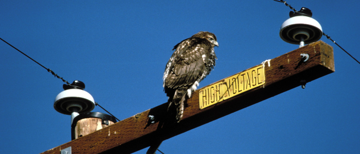 Surviving the urban landscape is a high-wire balancing act for birds