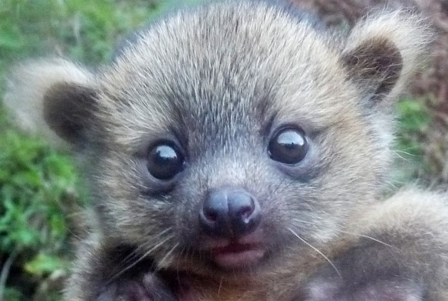 This baby olinguito was found in a nest 40 feet above the ground in a large dead bromeliad tree. (Photo by Juan Rendon taken at the Mesenia-Paramillo Nature Reserve in Colombia)