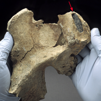 A stone projectile point embedded in Kennewick Man's right hip gave researchers the first clue that he belonged to an ancient human population; the spear point likely became lodged following an adversarial encounter.(Photo by Chip Clark)
