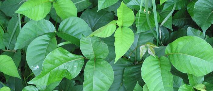 A poison ivy primer