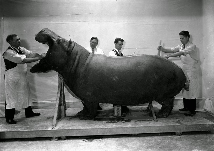 Taxidermists Working on Hippopotamus, 1930s  Smithsonian Institution Archives, MAH 11087-A