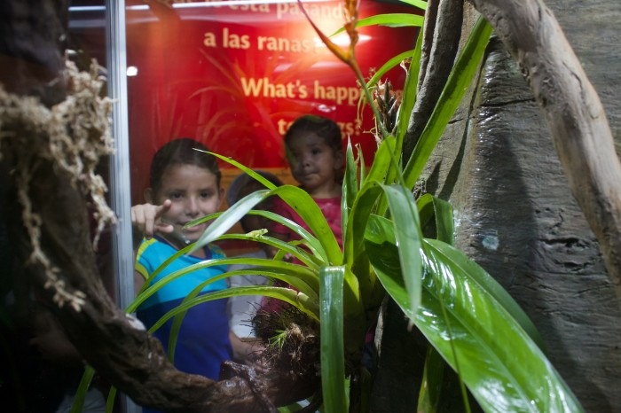 Young visitors spot a glassfrog on a bromeliad at the new frog exhibition at Punta Culebra Nature Center in Panama. (Photo by Brian Gratwicke)