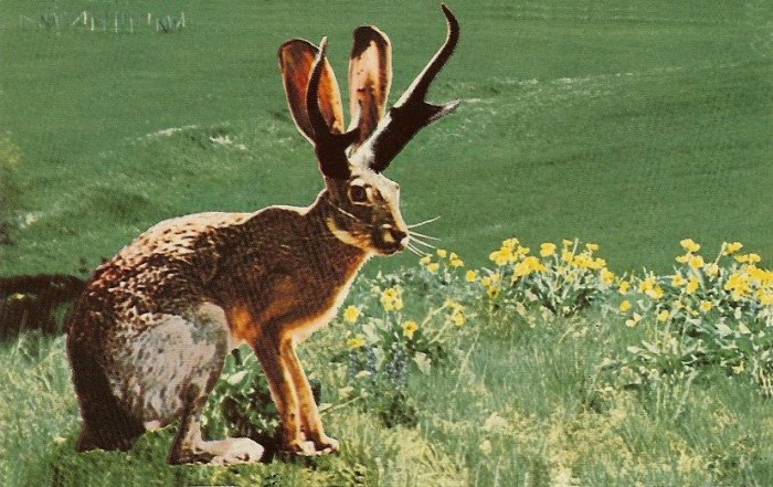 """(Postcard) The Fabulous Jackalope. """"Jackalopes, one of the rarest animals in North America, are a cross between an Antelope and a species of rabbit. They are extremely shy and wild, and possess the ability to mimic. Their cries often sound human and tuneful."""" Scenic Art, Berkeley, Calif."""