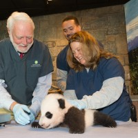 Wayne Clough assists Suzan Murray with a physical examination of giant panda cub Bao Bao.