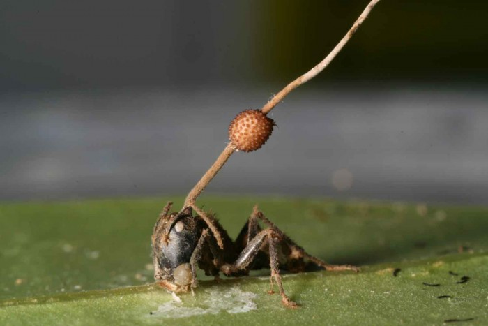 "This photo shows the fungus ""Ophiocordyceps unilateralis,"" which looks like a stick with a ball in the middle, coming out of the dead ant's head. (Photo by David P. Hughes, University of Exeter, England)"