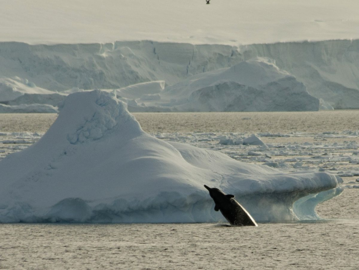 A beaked whale breaching in the icy waters off of Antarctica. Image by Soler97, Wikimedia CC-by-NC-SA.