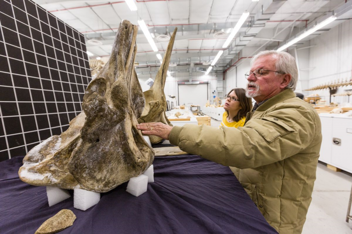 Charley Potter examines the skull of the black Baird's Beaked Whale skull, which was shipped to the NMNH by the Aleut people of St. George Island, Alaska. The skull was so well packed that bits of ice remained on the surface. Photo by Donald E. Hurlbert, Smithsonian.