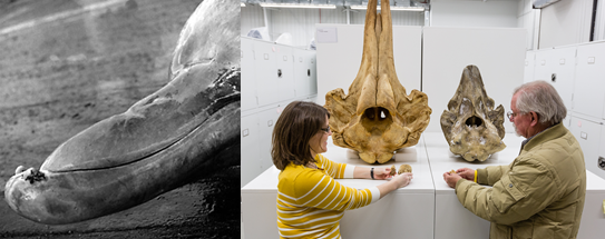 Left: A tell-tale sign of a beaked whale: two tusks protruding from the lower jaw. Photo Credit: Smithsonian Institution. Right: Charley Potter and Nikki Vollmer hold the tusks of two Baird's Beaked Whale specimens. The new skull representing the black species is on the right, and the gray species is on the left. Photo by Donald E. Hurlbert, Smithsonian.