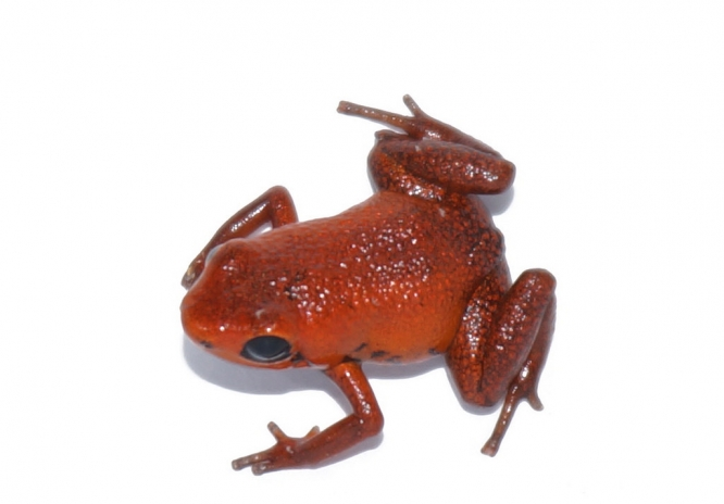 First Adinobates geminisae froglet hatched in captivity (Photo by Jorge Guerrel/Smithsonian Tropical Research Institute)