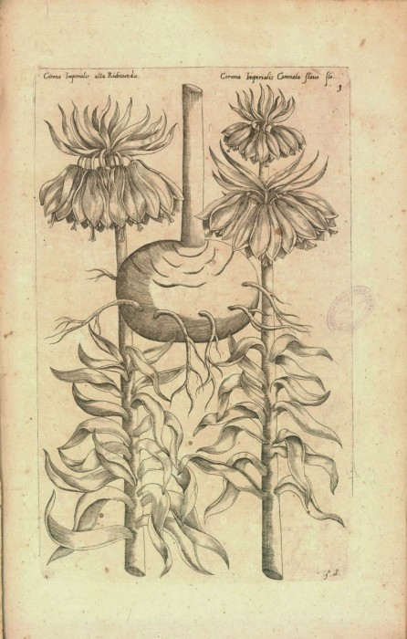 Fritillaria imperialis in Sweerts' 1647 Florilegium amplissimum et selectissimum. http://biodiversitylibrary.org/bibliography/75687. [Digitized by Biblioteca Digital del Real Jardin Botanico de Madrid.]