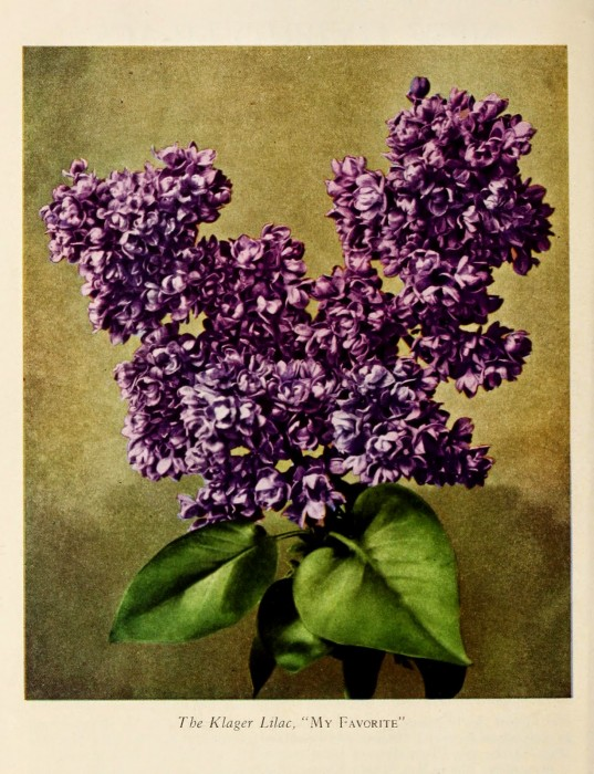 Hybrid Lilac, The Klager Lilac. Cooley's Gardens. 1931 fall catalogue of new hybrid lilacs and Japanese irises. http://biodiversitylibrary.org/page/44394461. Digitized by the USDA National Agricultural Library.