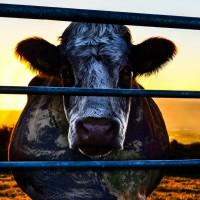 Cowspiracy: The Sustainability Secret Courtesy Cowspiracy