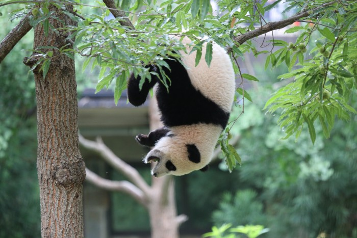 Giant panda Bao Bao celebrates her first birthday at the Smithsonian's National Zoo, Aug. 23, 2014. (Photo via Smithsonian's National Zoo)