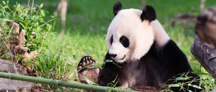 Plausible panda pop provides potent popsicle; pregnancy possible?