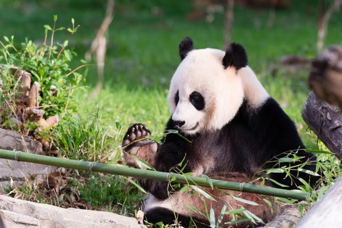 Giant panda Mei Xiang eating bamboo (Photo by Conor Mallon, Smithsonian's National Zoo)