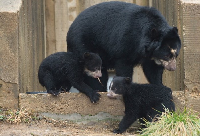 Andean bear cubs Mayni and Muniri with their mother. (Photo by Abby Wood)