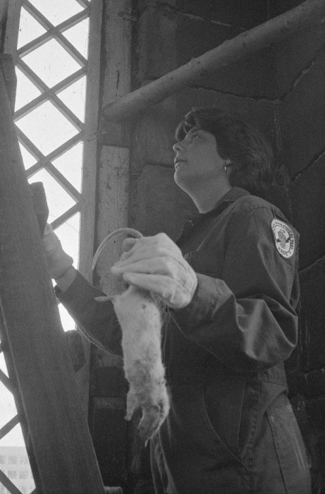 Amy Ballard carries a dead rat to owls living in the northwest tower of the castle in 1977. (Photo by Colin Varga)