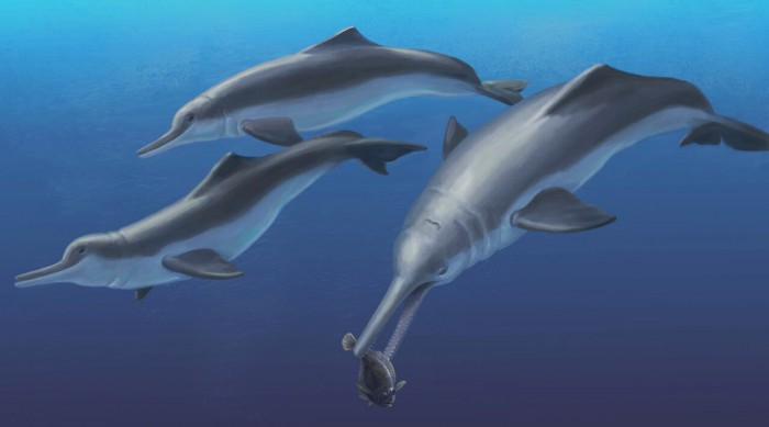 An artistic reconstruction of Isthminia panamensis, a new fossil dolphin from Panama, feeding on a flatfish. Many features of this new species appear similar to today's ocean dolphins, yet the new fossil species is more closely related to the living Amazon River dolphin. The fossils of Isthminia panamensis were collected from marine rocks that date to a time (around 6 million years ago) before the Isthmus of Panama formed and a productive Central American Seaway connected the Atlantic and Pacific oceans. (Credit: Julia Molnar)