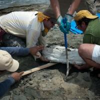 Scientists from the Smithsonian's National Museum of Natural History and the Smithsonian Tropical Research Institute collect the fossils of Isthminia panamensis, a new fossil dolphin, from the Caribbean coast of Panama on 18 June 2011. The fossil is encased in a white plaster jacket, and recovered as the tide rushed in. (Credit: Aaron O'Dea)
