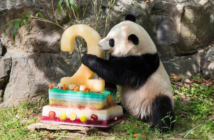 Bao Bao enjoys a fruitsicle for her second birthday Aug. 23. (Photo by Jim and Pam Jenkins)