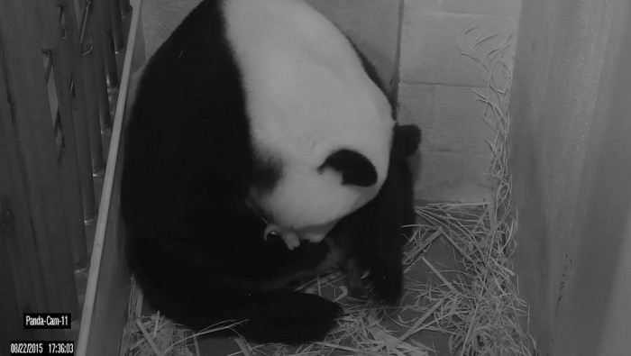 Mei Xiang with her newborn cub Aug. 22.