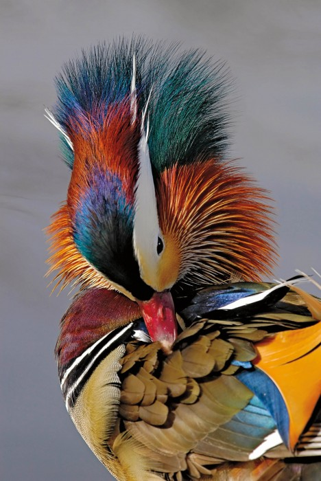 Mandarin Duck, Sterne Park, Littleton, Colorado, USA By Russ Burden, Highlands Ranch, Colorado, USA © Russ Burden / Nature's Best Photography Awards. Courtesy of Smithsonian's National Museum of Natural History.