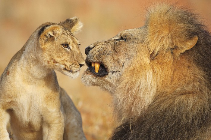 African Lion and Cub, Kgalagadi Transfrontier Park, Kalahari Desert, South Africa By Lee Slabber, Cape Town, South Africa © Lee Slabber / Nature's Best Photography Awards. Courtesy of Smithsonian's National Museum of Natural History.