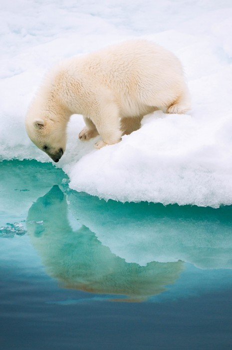 Polar Bear Cub, Barents Sea, Norway By Florian Schulz, Wilhelmsdorf, Germany © Florian Schulz / Nature's Best Photography Awards. Courtesy of Smithsonian's National Museum of Natural History.