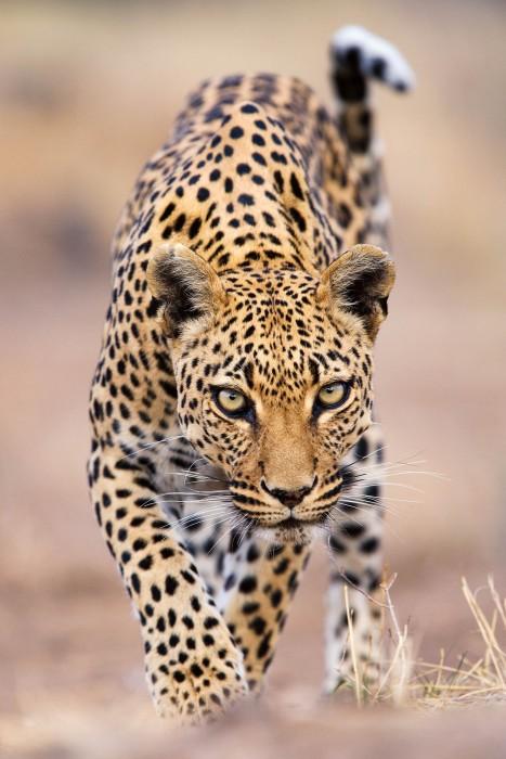 Leopard Stalking, Otjozondjupa Region, Namibia By Stephen Belcher, Christchurch, New Zealand © Stephen Belcher / Nature's Best Photography Awards. Courtesy of Smithsonian's National Museum of Natural History.