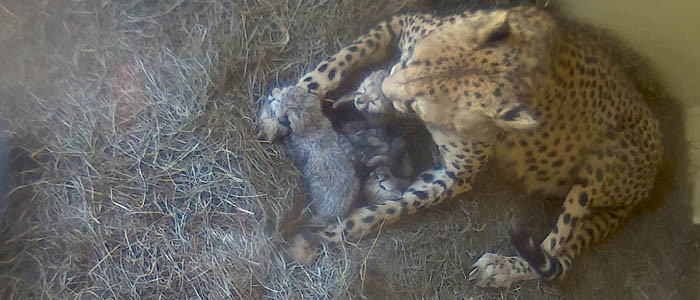Zoo's cheetah population rises to 21 with three new cubs