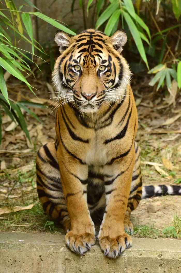 """400 songs, 400 tigers: Top honors to the Zoo for """"Endangered Song"""""""