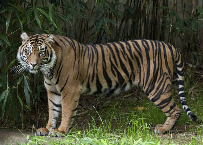 Sumatran tiger Damai at the National Zoo (Photo by Mehgan Murphy)