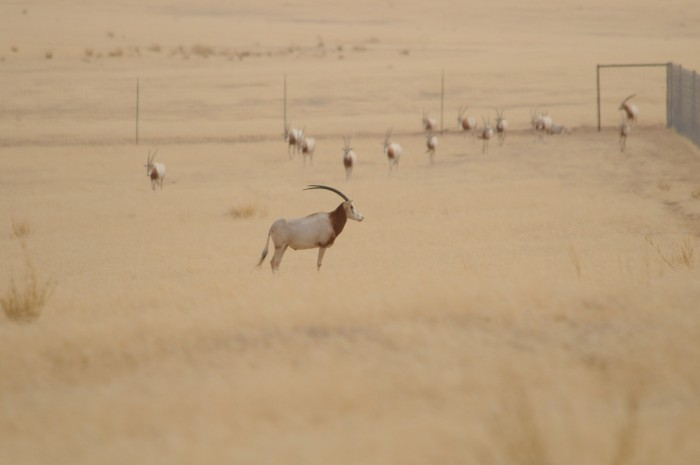 Herd of Scimtar-horned oryx in enclosure