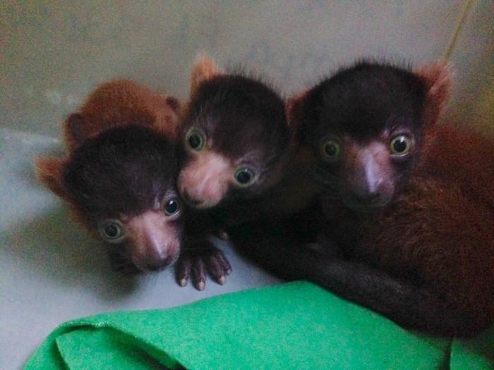 Three six-day old red-ruffed lemurs