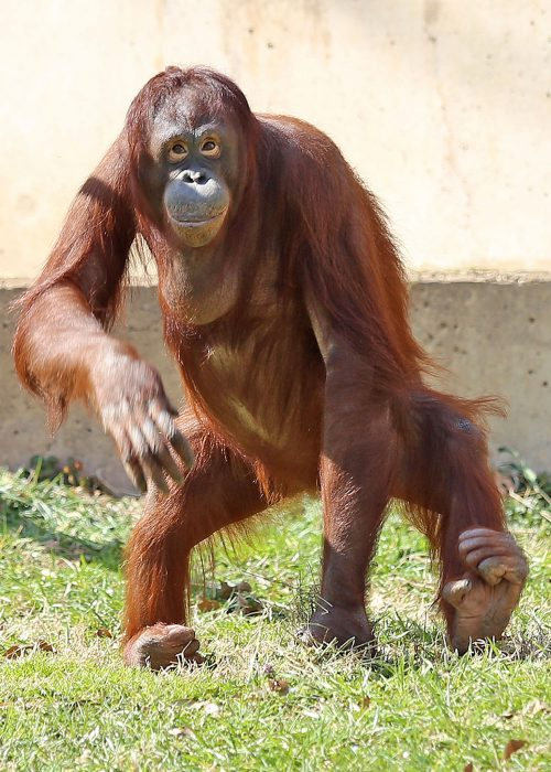 female orangutan satnding upright