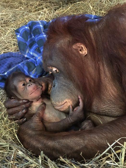 Batang cuddles infant orangutan