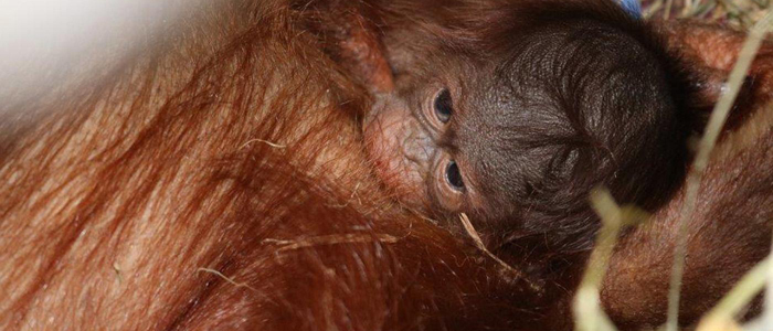 Close-up of newborn orangutan