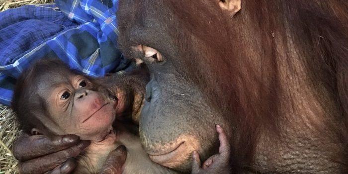 Mother cuddling infant orangutan