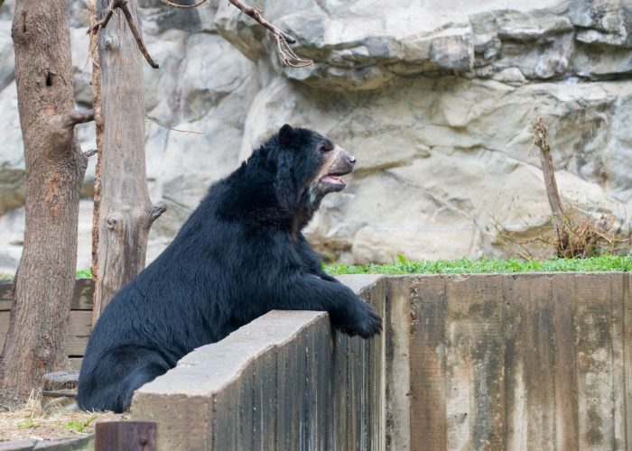 Bear leaning over wall in enclosure