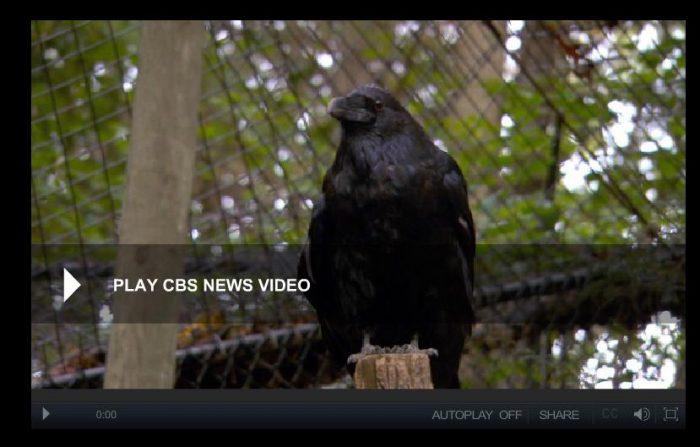 Raven in aviary