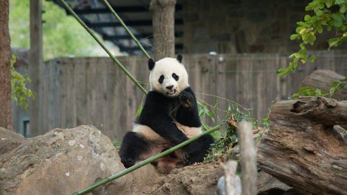 Bao Bao sitting on a rock eating bamboo