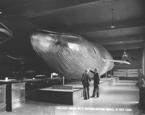 Historic photo of two men standing next to enormous model of whale