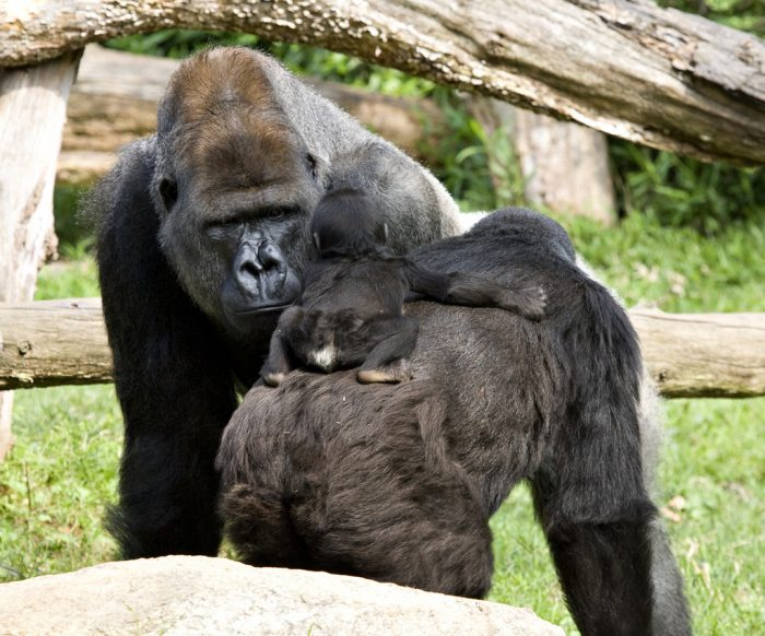 Male gorilla scrutinizes infant on her mother's back
