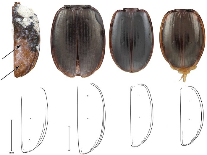 photo and drawings comparing beetles side-by-side