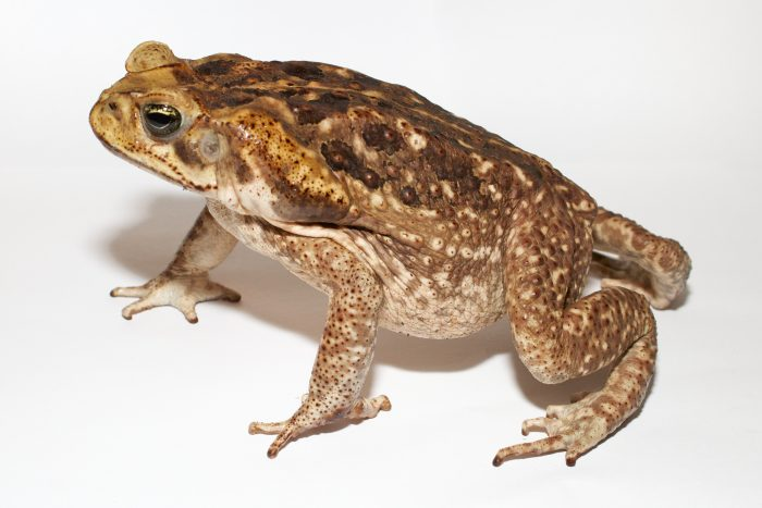 Brown speckled toad on white background