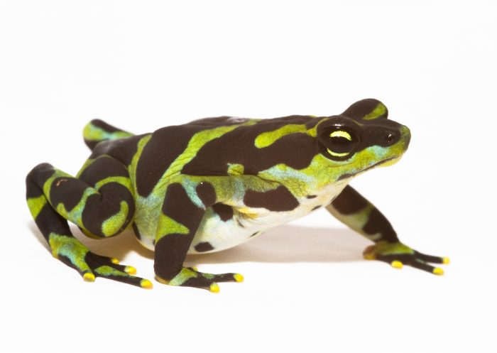 Green and black amphibian on white background